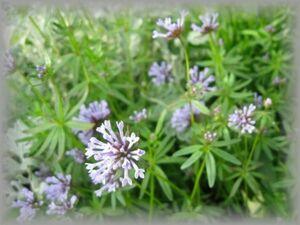 H-8 アスペルラ/タマクルマバソウ 20粒 花の種 2021年採種