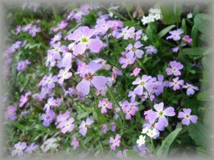 I-1 バージニアストック 20粒 花の種 2021年採種