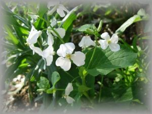 E-9 ムラサキハナナ/オオアラセイトウ 白変性種 20粒 花の種 2021年採種