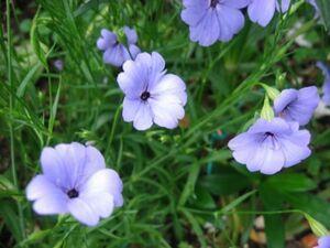 H-7 ビスカリア ブルーエンジェル 20粒 花の種 2021年採種