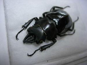昆虫標本★入荷少ない★タリアブ島産ダールマンツヤクワガタ♂40.5ミリ