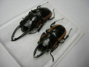 昆虫標本★希少!!ソロモン諸島べララベラ島産ビソンノコギリ2♂♂セット