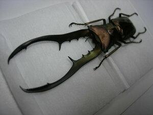 昆虫標本★1000円スタート★ペレン島産メタリフェルホソアカクワガタ♂80.5