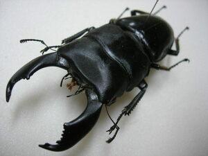 昆虫標本★1000円スタート★スマトラ島産ヒラタクワガタ♂85.5ミリ