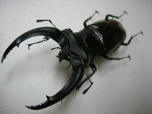 昆虫標本★上翅が赤い美個体★スマトラ島産リノセロスフタマタクワガタ♂93ミリ