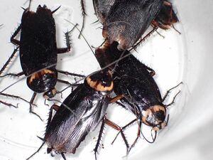 ワモンゴキブリ ブラック ホワイトアイ 幼虫10匹