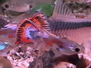 国産モザイクグッピー若魚 5ペア