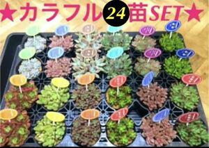いつもの2倍【大人気の多肉植物24苗SET+⑧月末までオマケ付き^ ^