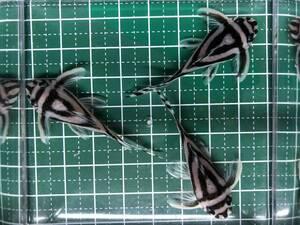 インペリアルゼブラプレコ 約5.2cm ブリード(F1)×3匹 (土・日曜日発送限定)