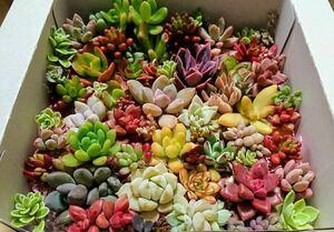 ~* 多肉植物カット苗 30種類 40カット *~ 寄せ植えに ☆。