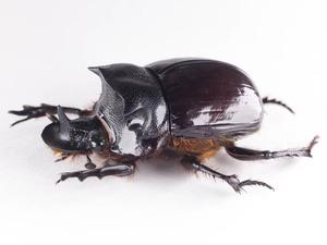 H. bucephalus 27P セアカナンバンダイコクコガネ ペア標本 ジャワ島