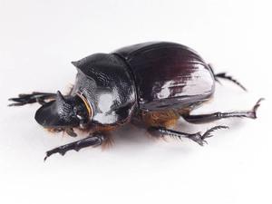 H. bucephalus 23P セアカナンバンダイコクコガネ ペア標本 ジャワ島
