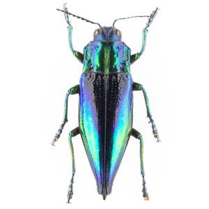C. calepyga 43B ルリニシキナンヨウタマムシ標本 カイ島