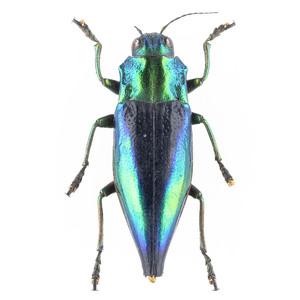 C. calepyga 36B ルリニシキナンヨウタマムシ標本 カイ島