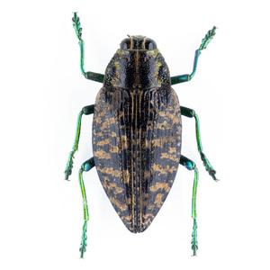 Buprestoidea sp. 02B データなしタマムシ標本 マダガスカル