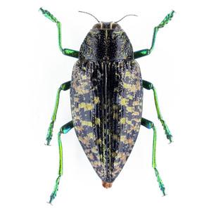 Buprestoidea sp. 05 データなしタマムシ標本 マダガスカル