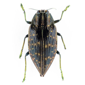 Buprestoidea sp. 06B データなしタマムシ標本 マダガスカル