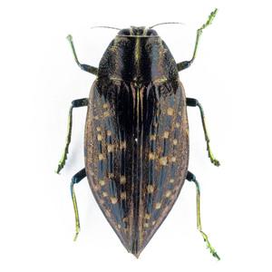Buprestoidea sp. 08B データなしタマムシ標本 マダガスカル