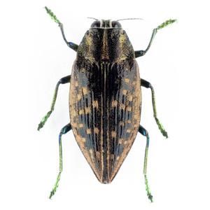 Buprestoidea sp. 09B データなしタマムシ標本 マダガスカル