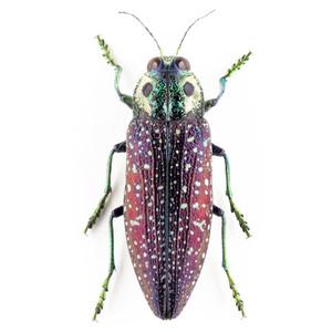 M. rothschildi 12 メンガタタマムシ標本 マダガスカル