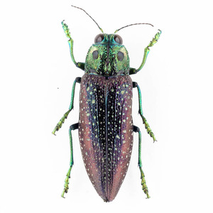 M. rothschildi 16B メンガタタマムシ標本 マダガスカル