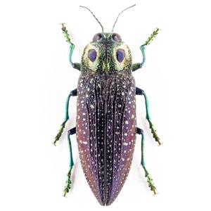 M. rothschildi 14B メンガタタマムシ標本 マダガスカル