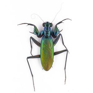 M. splendidus 24P ケンランカマキリペア標本 スマトラ島