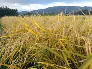 農家直送 新米 あきたこまち 玄米30kg 減農薬栽培 秋田県産 色彩選別済み