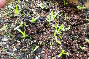 ブロメリア種子ミックス 種子50粒  パルダリウム TA11