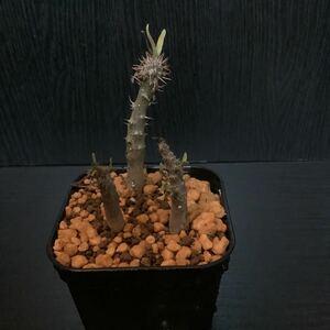 パキポディウム グラキリス コーデックス 塊根植物