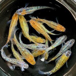 【上州・貴めだか 】卵60個+α 夜桜 極ラメ メダカ 有精卵60個内保証30個込 メダカ 卵 極上ラメ B