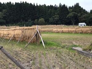 新米 21年産 青森県産 検査1等米 つがるロマン玄米24kg