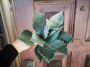 シャウィー×イシスメンシス 検(agave チタノタ チタノータ アガベ リュウゼツラン 吉祥天 パリー  ホリダ 好きにも