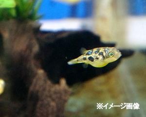 熱帯魚 アベニーパファー 1匹 ※雄雌のご指定不可