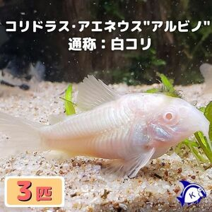 熱帯魚 コリドラス・アエネウス アルビノ 白コリ 3匹 ※雄雌のご指定不可