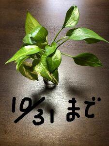 ポトス 3本+1本 根っこ付き (ずっと水栽培だとかわいそうなので10/31までの出品とします)