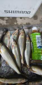 天然鮎 大鮎 冷凍 富山県産 八尾町 21センチ前後 20匹