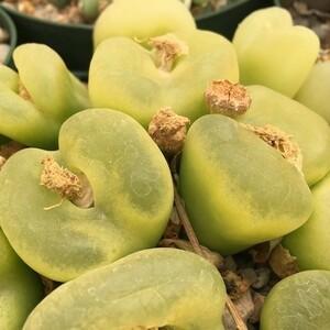 種子10粒 コノフィツム マウガニー Naip road産 Conophytum maughanii Naip road 緑肌 ぼんやりと輝く 有窓種 人気種