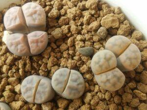 種子30粒 リトープス 花紋玉 白系mix Lithops karasmontana 白肌 無紋 カラスモンタナ 2021年6月自家採取