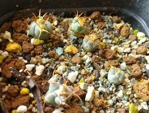 種子10粒 ギムノカリキウム ガンキネンセ 歓喜玉 Gymnocalycium guanchinense VS35 Cuesta Mirada, LR産 長く曲がった棘 サボテン 多肉植物