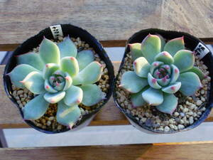 succulent plant * peach Taro * chihuahua ensis( root attaching )2 piece set