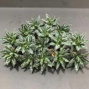 多肉植物 アガベ 笹の雪15株 美株