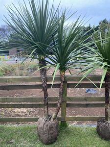 ドラセナ☆ニオイシュロラン ★シンボルツリー 、庭木 、南国風
