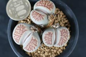 菊章玉 *サボテン 多肉植物 リトープス