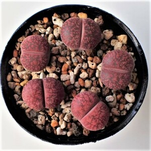 Lithops lesliei v.hornii x Fred's Redhead リトープス 5H