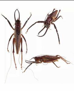 【標本】南米の異形虫 クワガタギリス