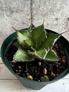 多肉植物 アガベ チタノタ スペイン産