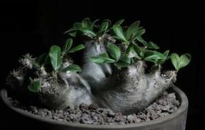 【種子】パキポディウム・ブレビカリックス Pachypodium densiflorum var. Brevicalyx種子50粒【送料無料】