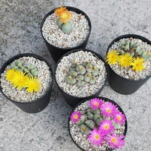 ◇◆【5種セット】コノフィツム5種セット①Conophytum/リトープスメセンサボテン花/多肉植物◆◇