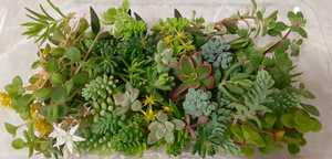 1円~ 多肉植物カット苗 パックにいっぱい詰めます☆ 寄せ植え グランドカバーに♪ セダム ネックレス 色々 セット 増える 丈夫